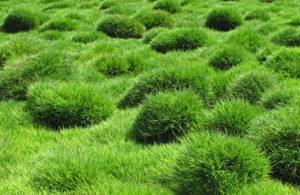 Zoysia Grass Sod Installer Carrollton