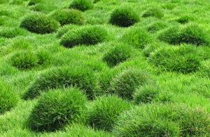 Local Zoysia Grass Sod Installer Colleyville